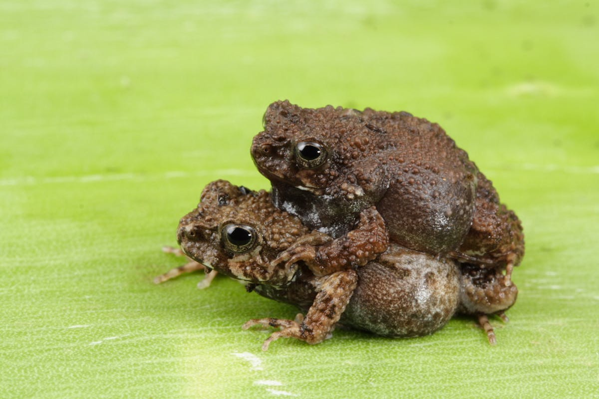 That's Amore: frogs sing more alluring love songs in the city