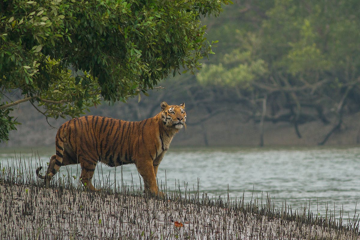 Bengal tigers in the Sundarbans mangroves