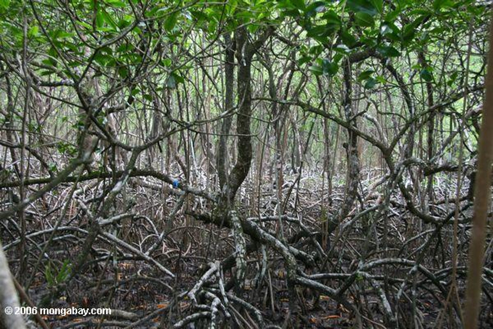 South American Pacific Mangroves