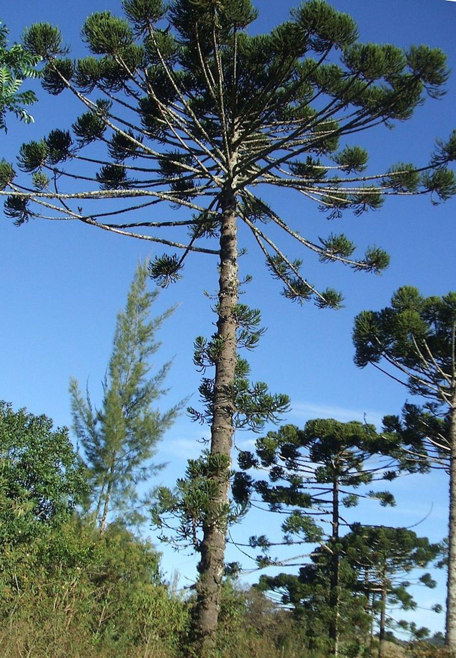 Araucaria Moist Forests