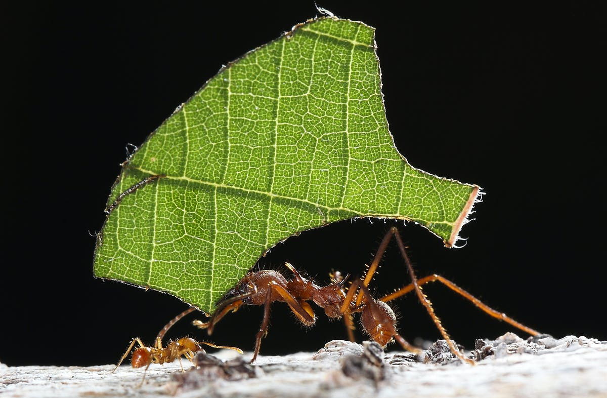 The caste system and gardening proficiency of leafcutter ants