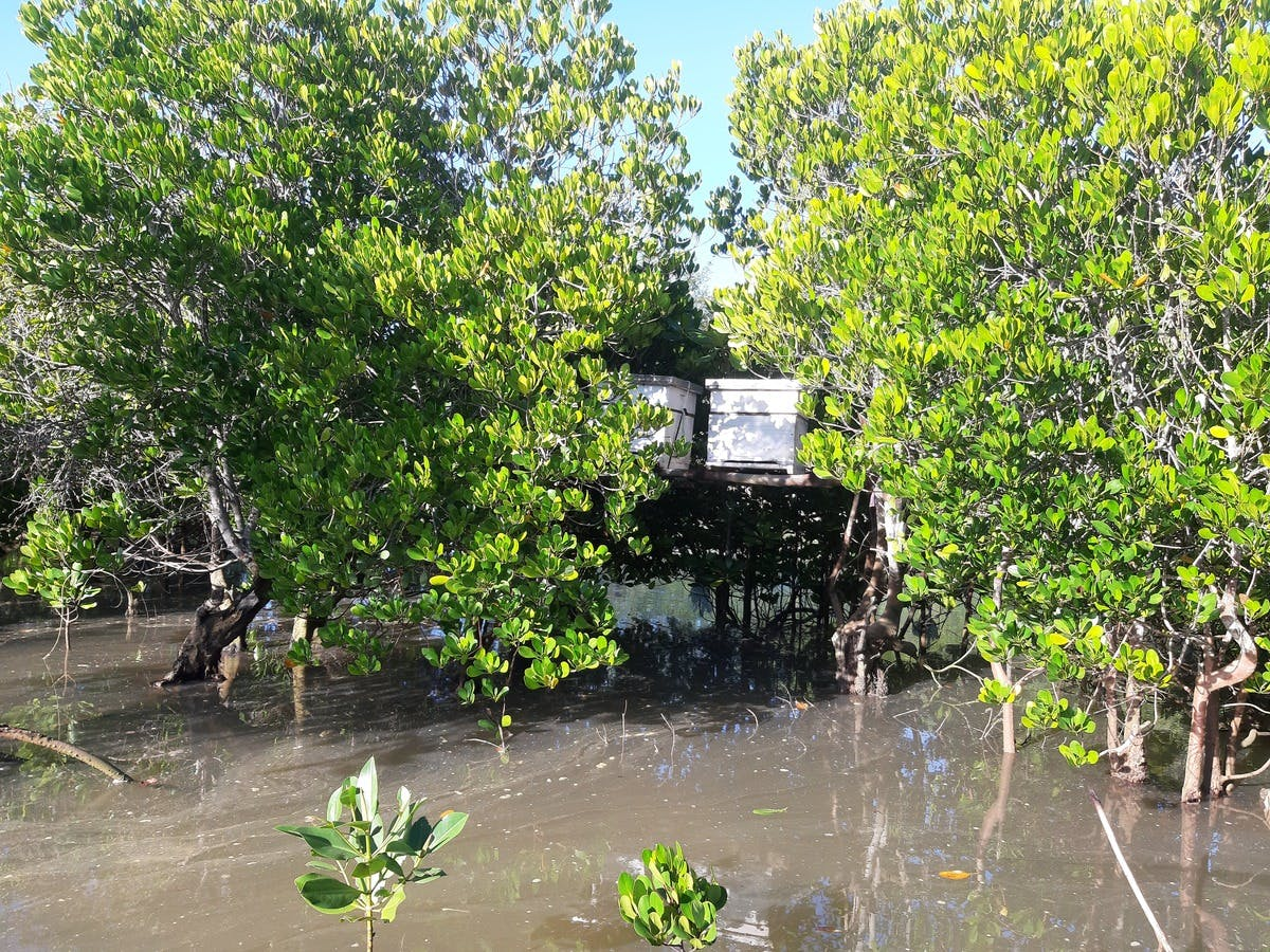 Two hives mounted on mangroves at the Tudor creek.