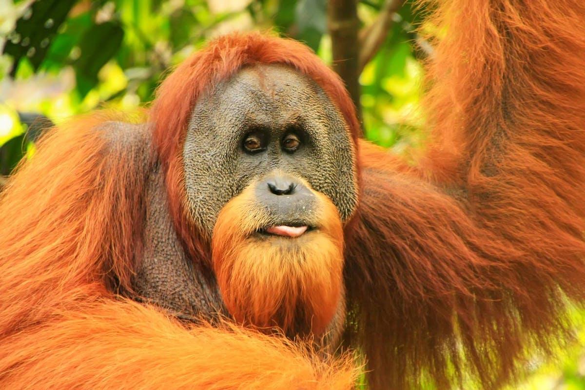Species of the Week: Sumatran orangutan