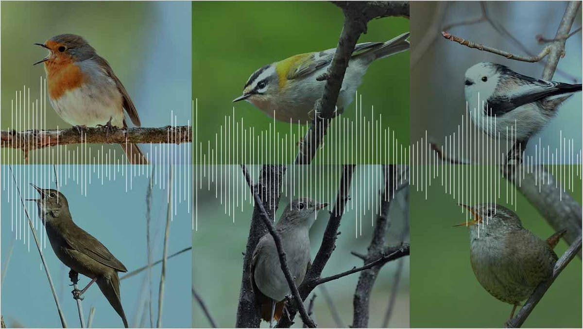 Become a citizen scientist by recording the dawn chorus of birds