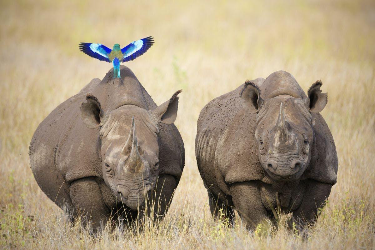 African black rhino populations increasing