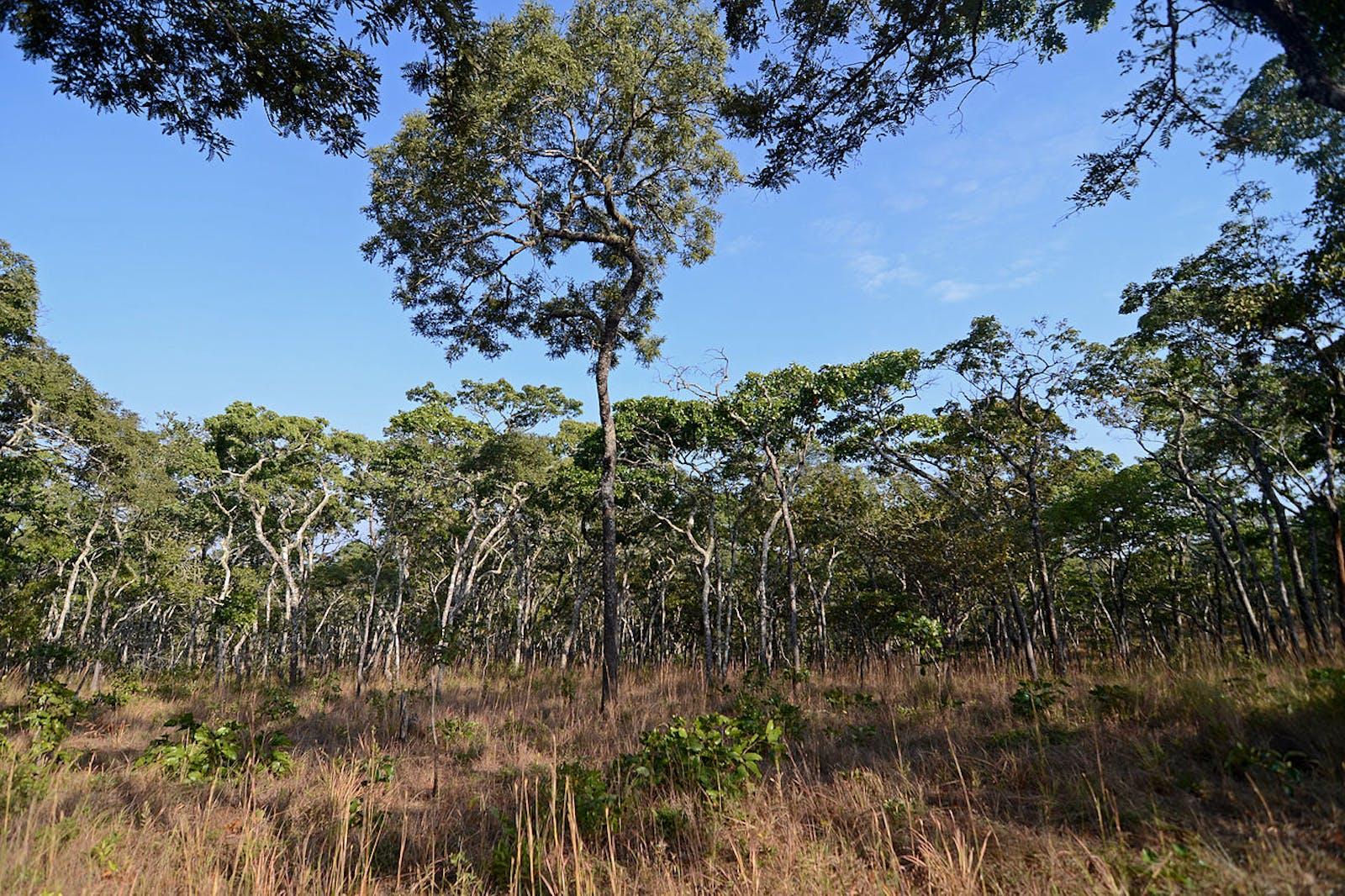 Zambezian Evergreen Dry Forests