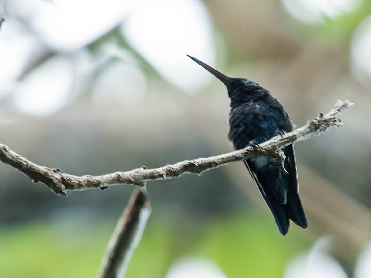 Species of the Week: sapphire-bellied hummingbird