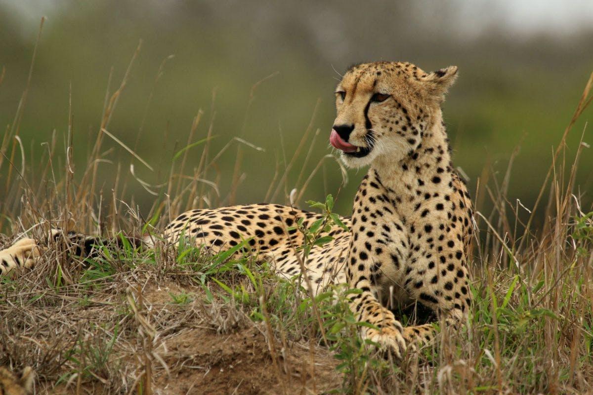 Species of the Week: cheetah