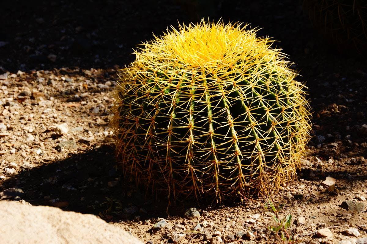 Species of the Week: golden barrel cactus
