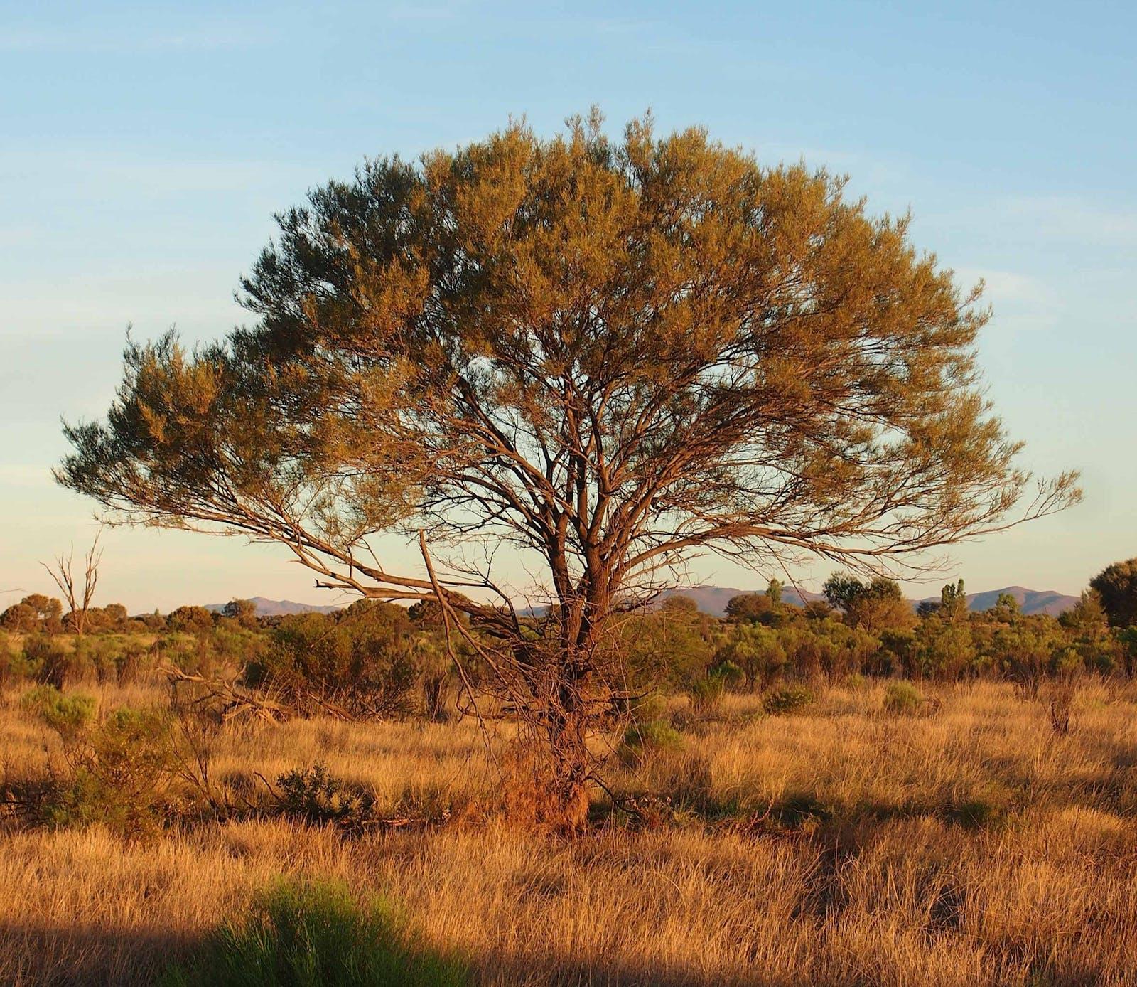 Western Australian Mulga Shrublands