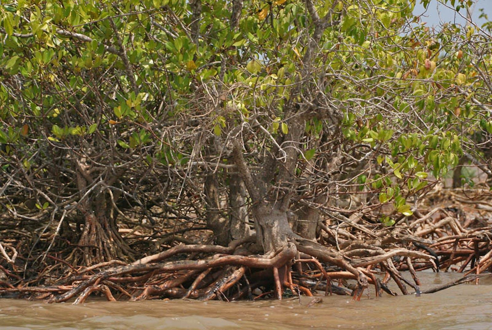 Godavari-Krishna Mangroves