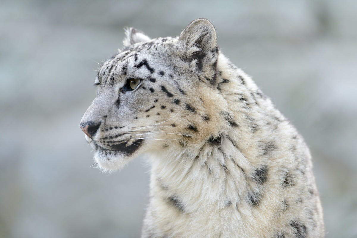Rebalancing the Snow Leopard Ecosystem in Eastern Eurasia