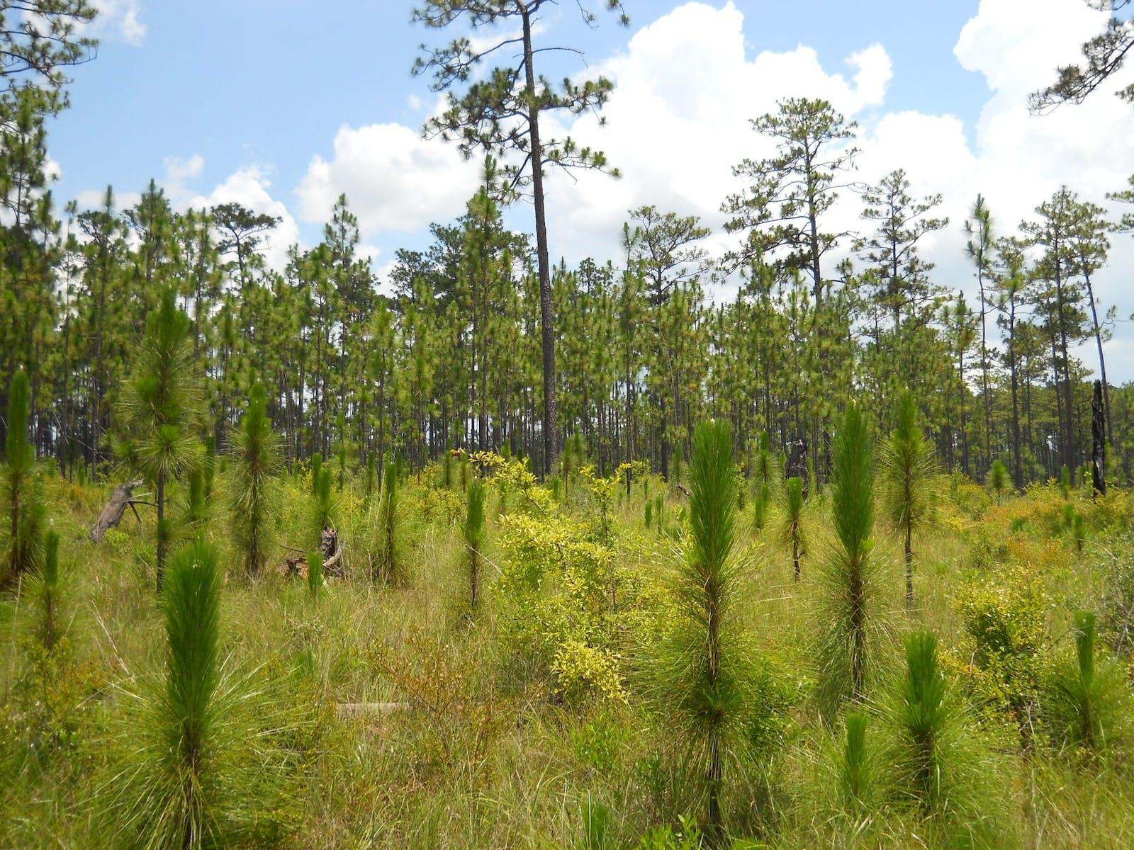 Southeast US Conifer Savannas