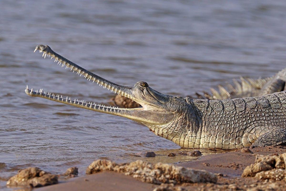 Species of the Week: gharial