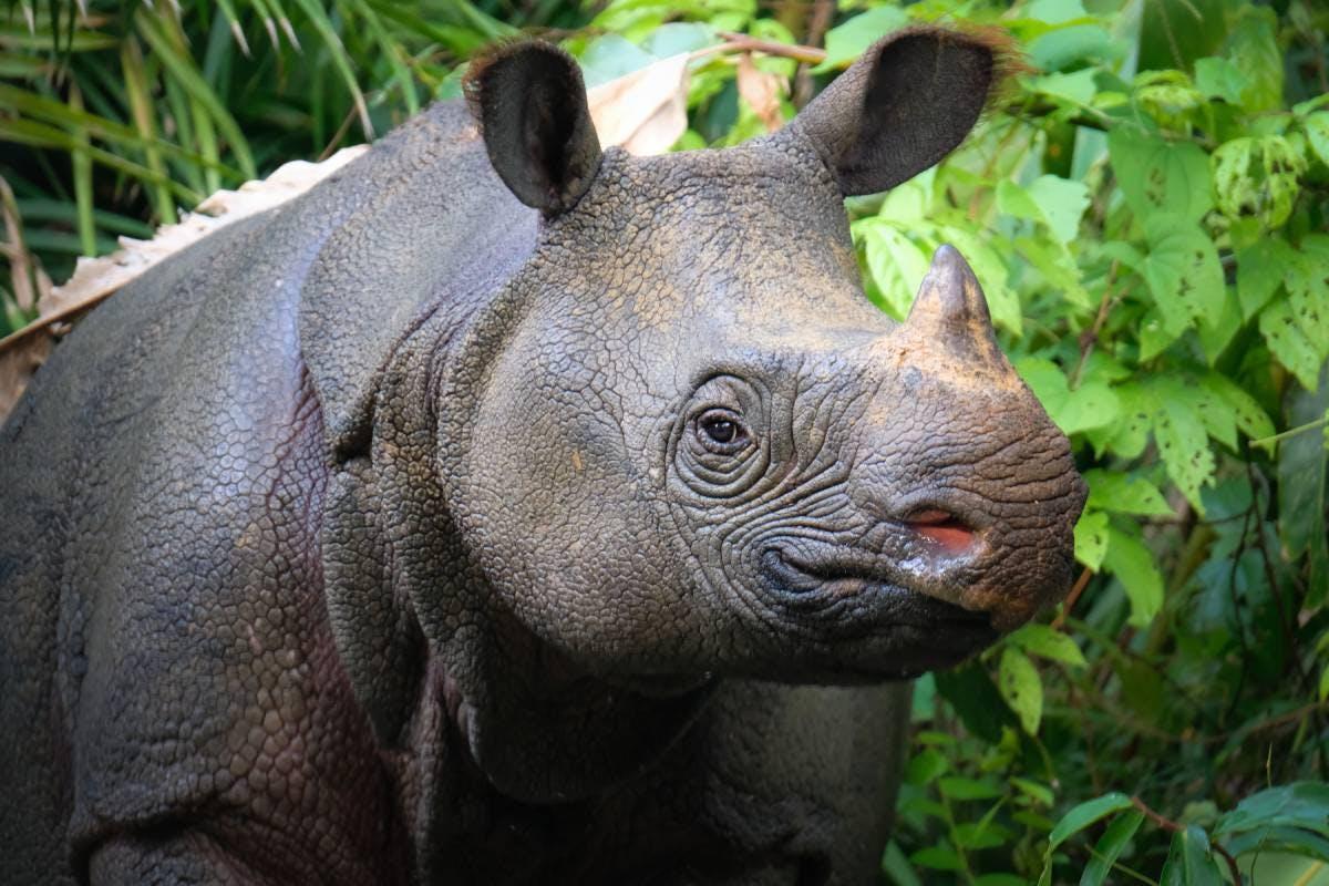 Species of the Week: Javan rhinoceros