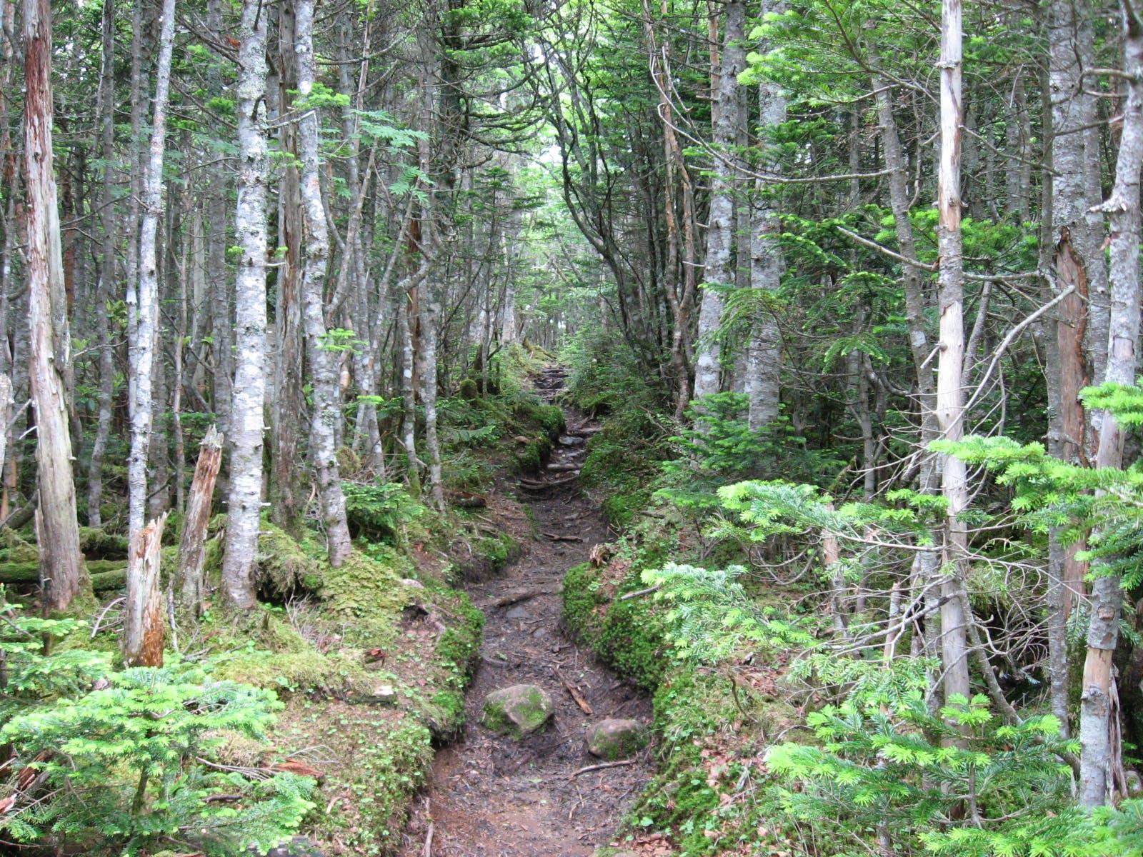 Honshu Alpine Conifer Forests