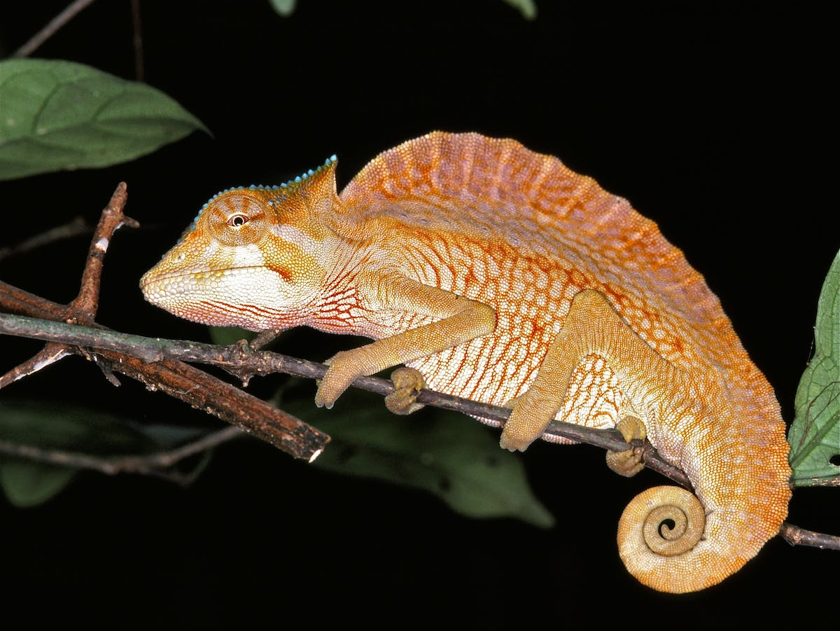 Species of the Week: crested chameleon