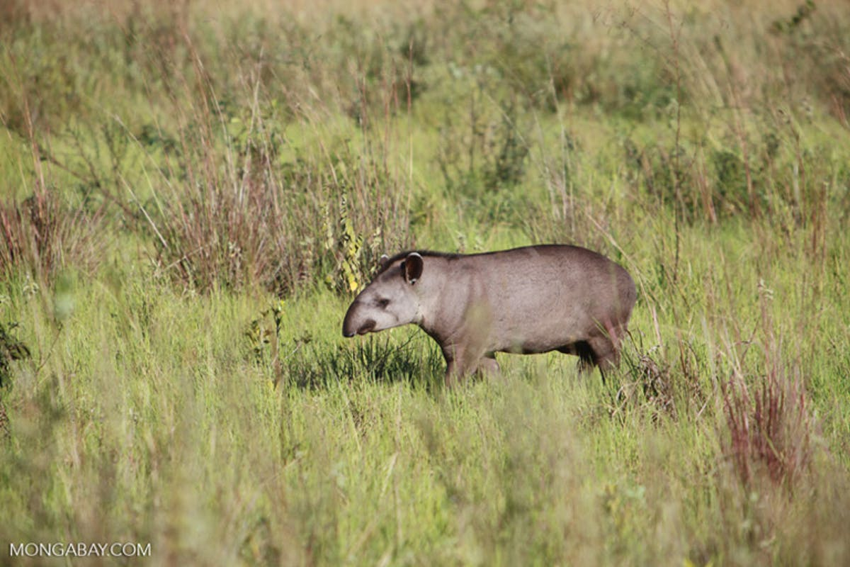 Tapirs could be key in helping degraded rainforests bounce back