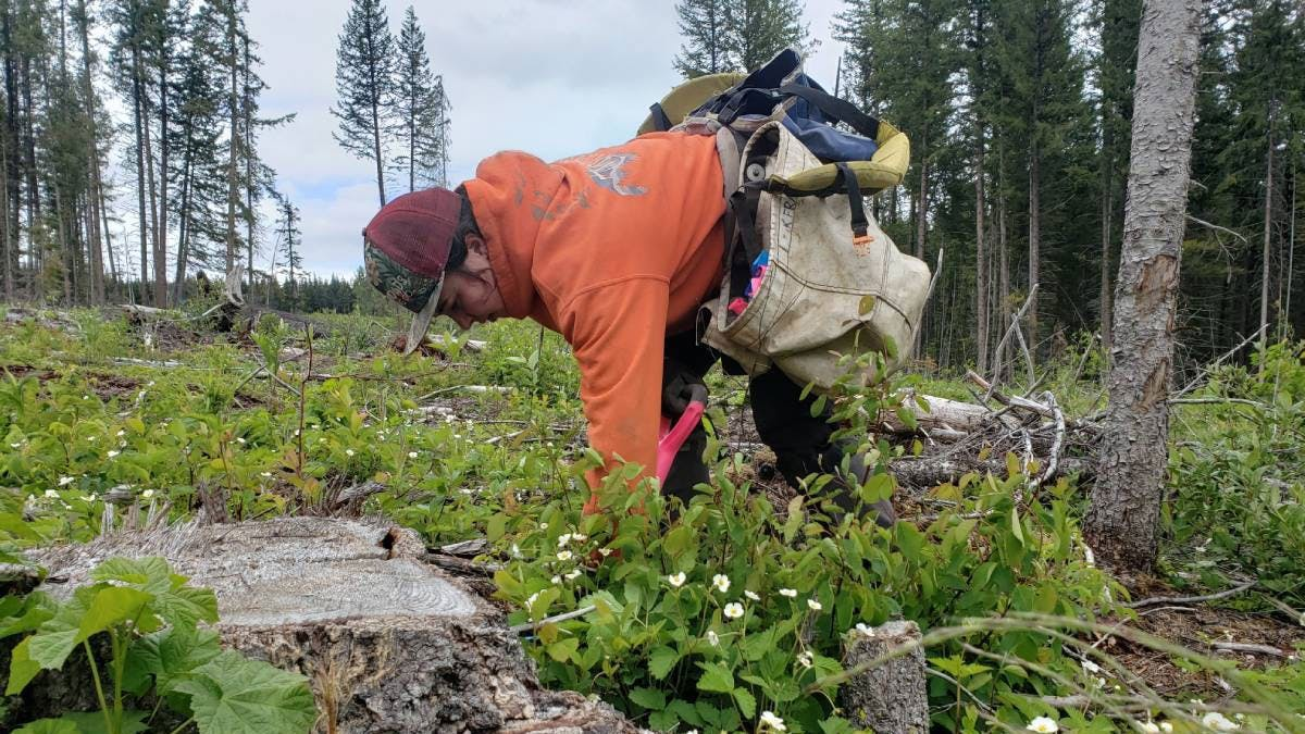 Enhancing Forest Resilience through the Mother Tree Project in British Columbia