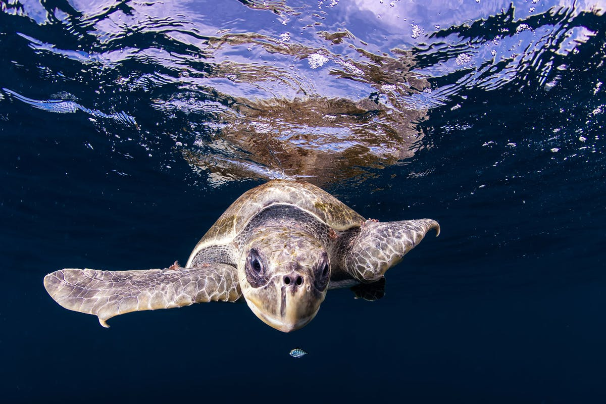 Rare sea turtles are setting new nesting records throughout the Southeast