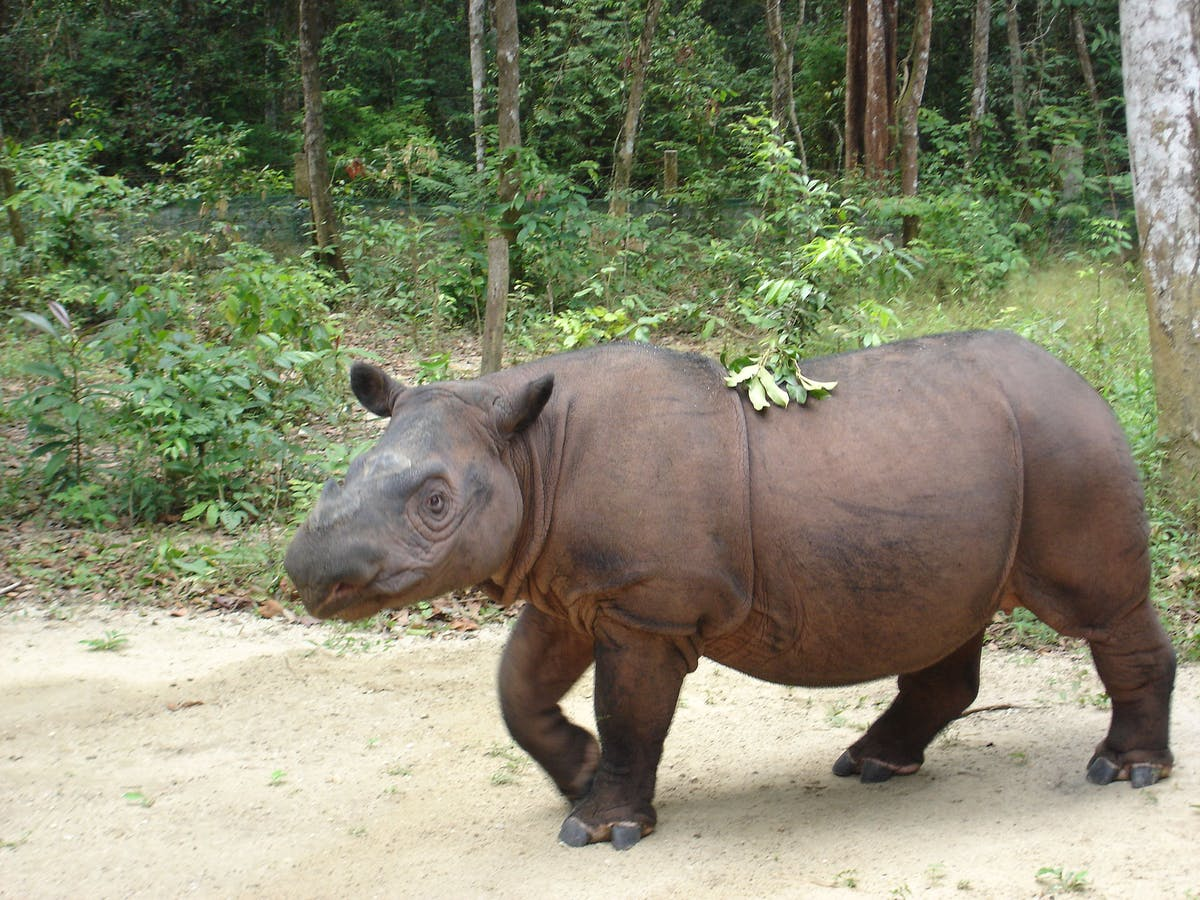 Protecting Wild Sumatran Rhinos in West Leuser, Indonesia