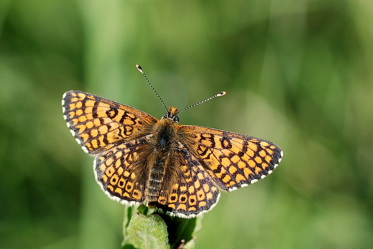 Horses can help threatened butterfly species