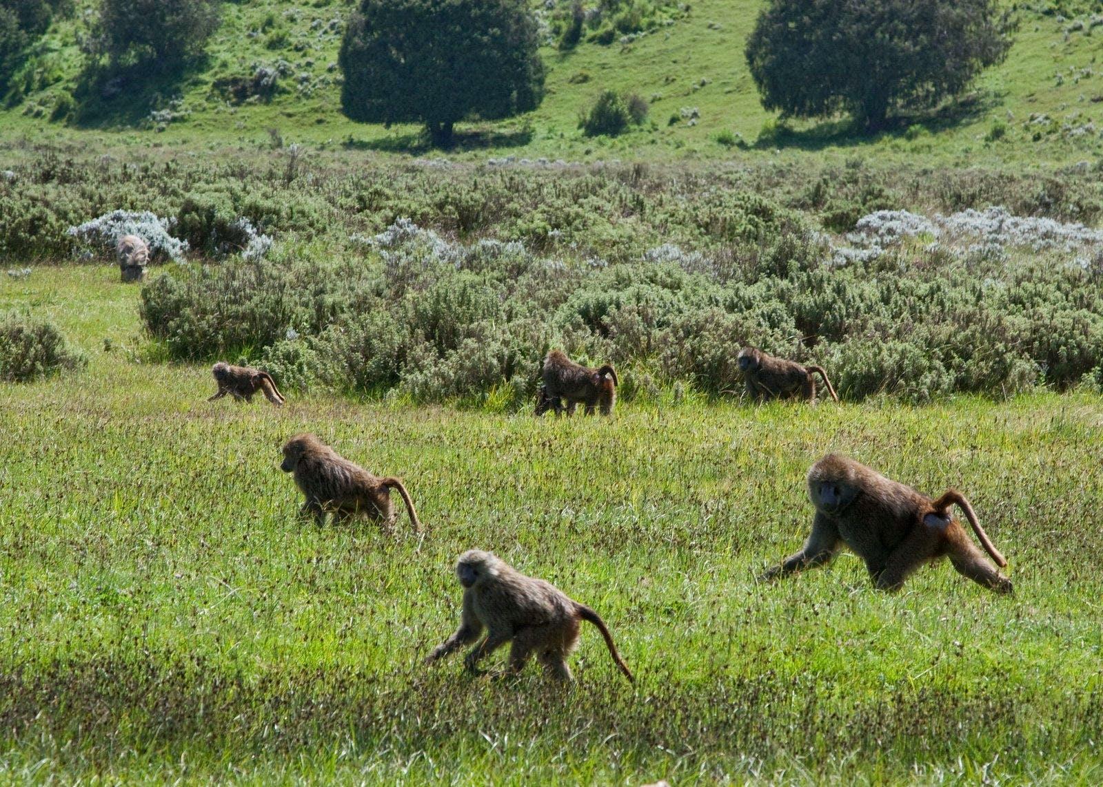 Ethiopian Montane Grasslands and Woodlands