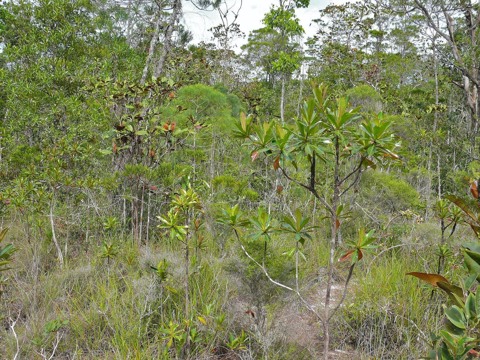 Sundaland Heath Forests