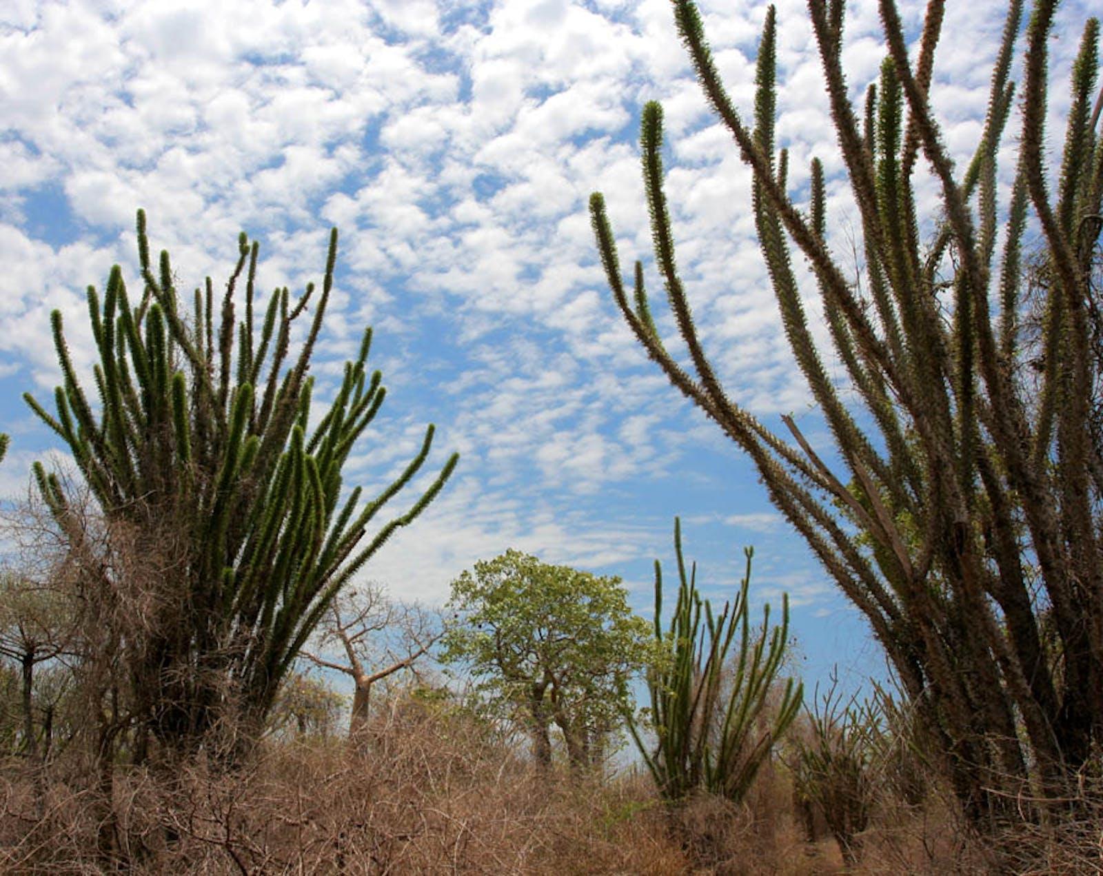 Madagascar Spiny Thickets
