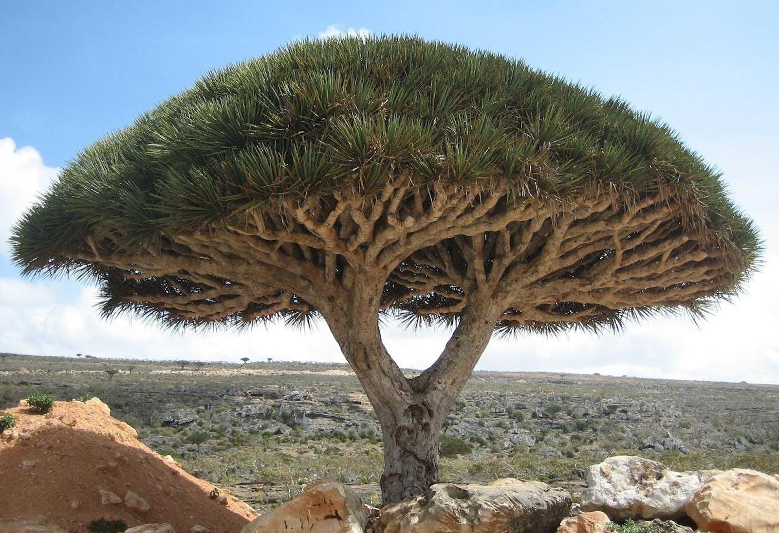 Socotra Island Xeric Shrublands