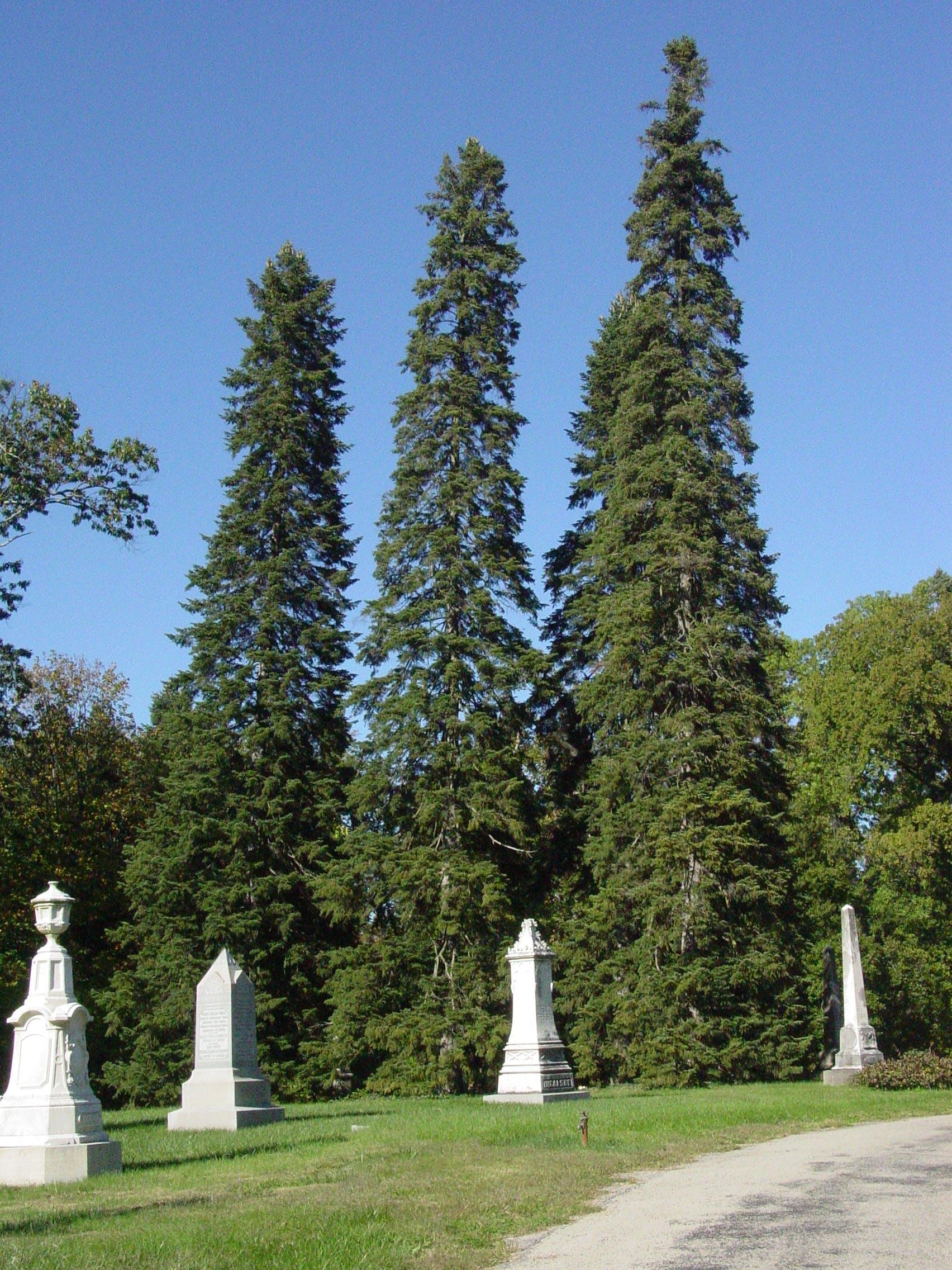 Cilicician fir