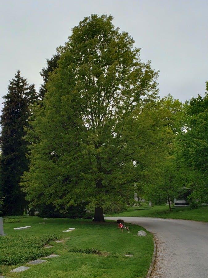 Nuttall Oak (Quercus texana)