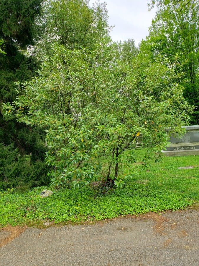Devilwood, Wild-olive (Osmanthus americanus)