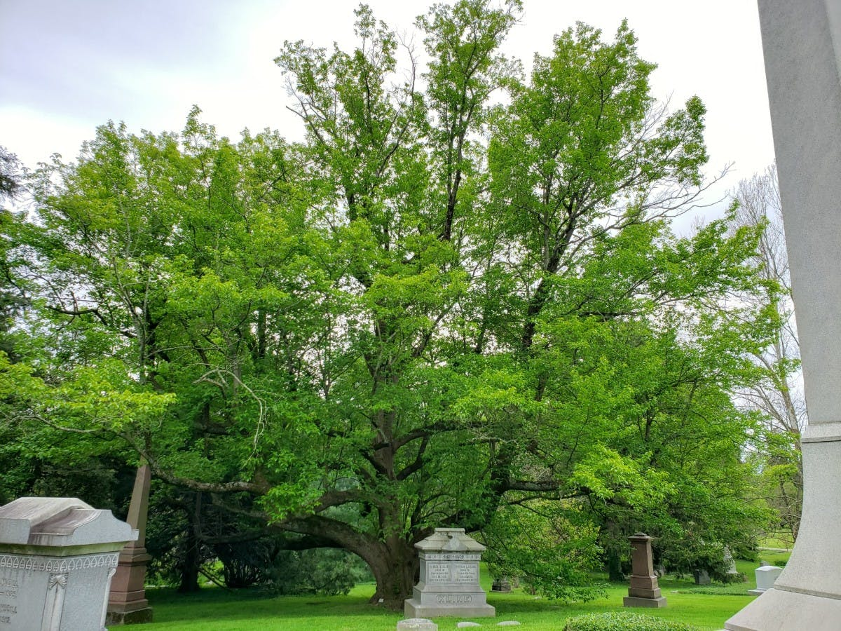 Hardy Rubber Tree (Eucommia ulmoides)