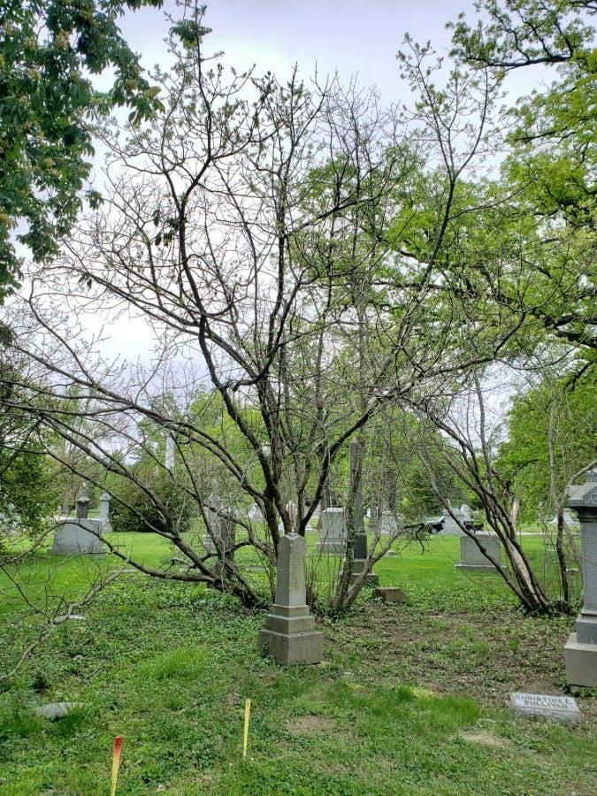 American Fringetree (Chionanthus virgincus)