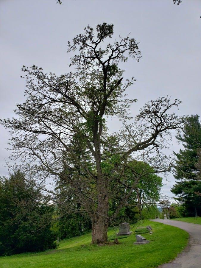 Amur Corktree (Phellodendron amurense)