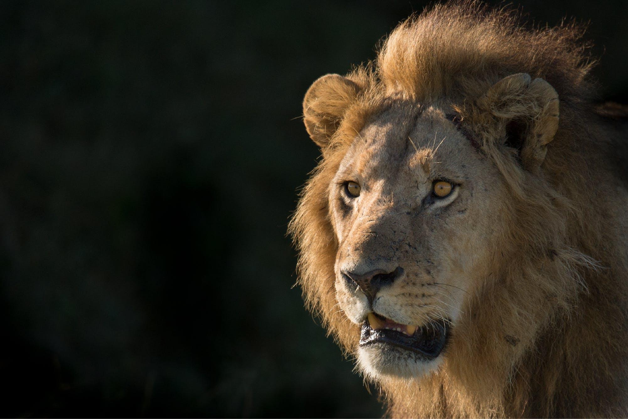 lions - photo #8
