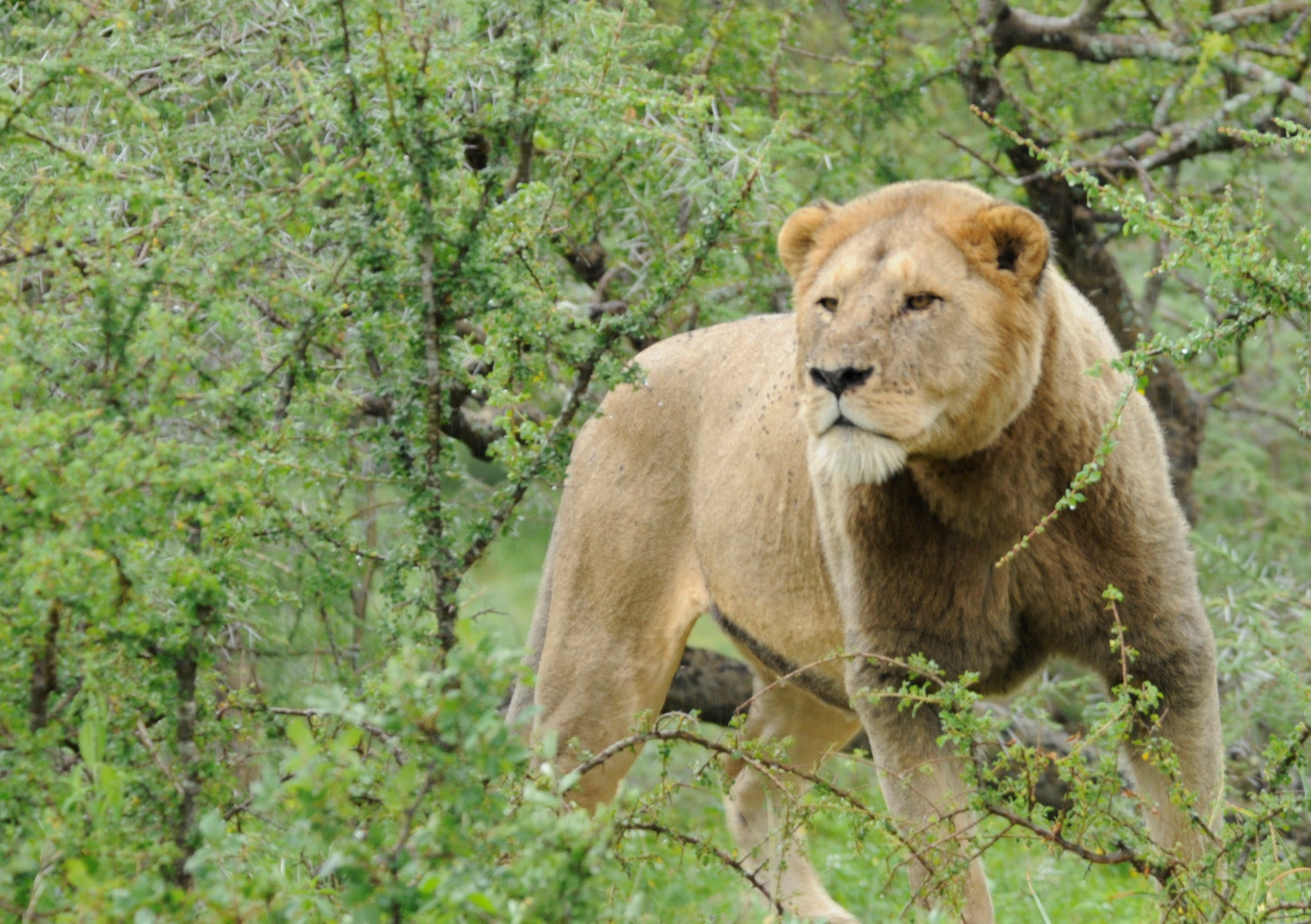 The Lion Who Lost His Mane   Lion Recovery Fund