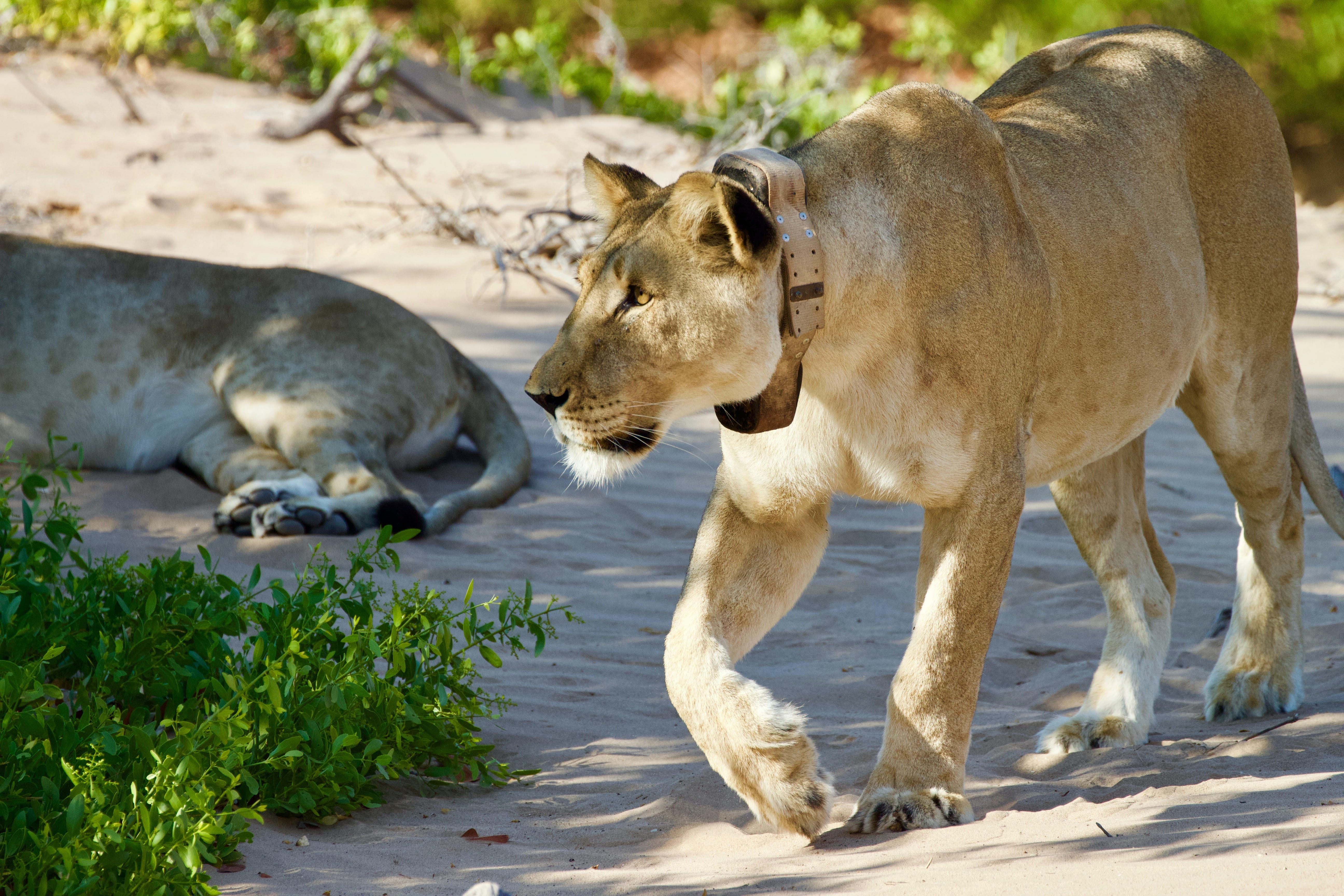 Helping Zimbabwe with their national lion conservation