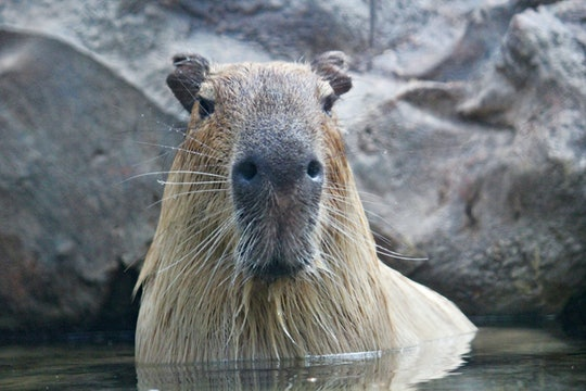 a large capybara standing in water
