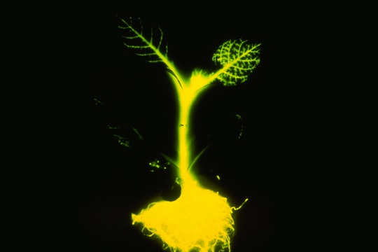 A tobacco plant genetically engineered with a firefly gene to glow bright green.