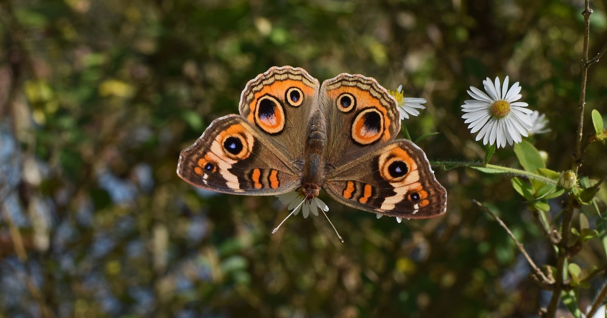 Buckeye butterflies get their color from their scales