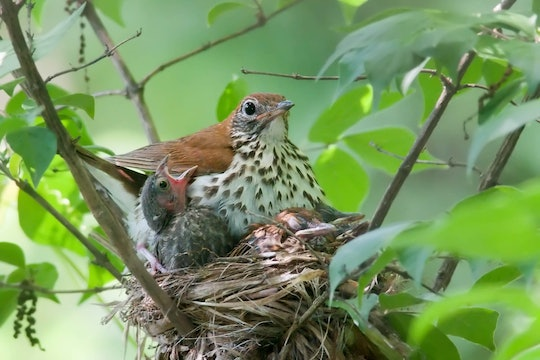 A wood thrush chick next to a much larger cowbird chick, parasitizing its nest