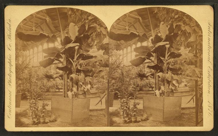Leafy banana trees in Floral Hall at the Philadelphia Centennial in 1876.