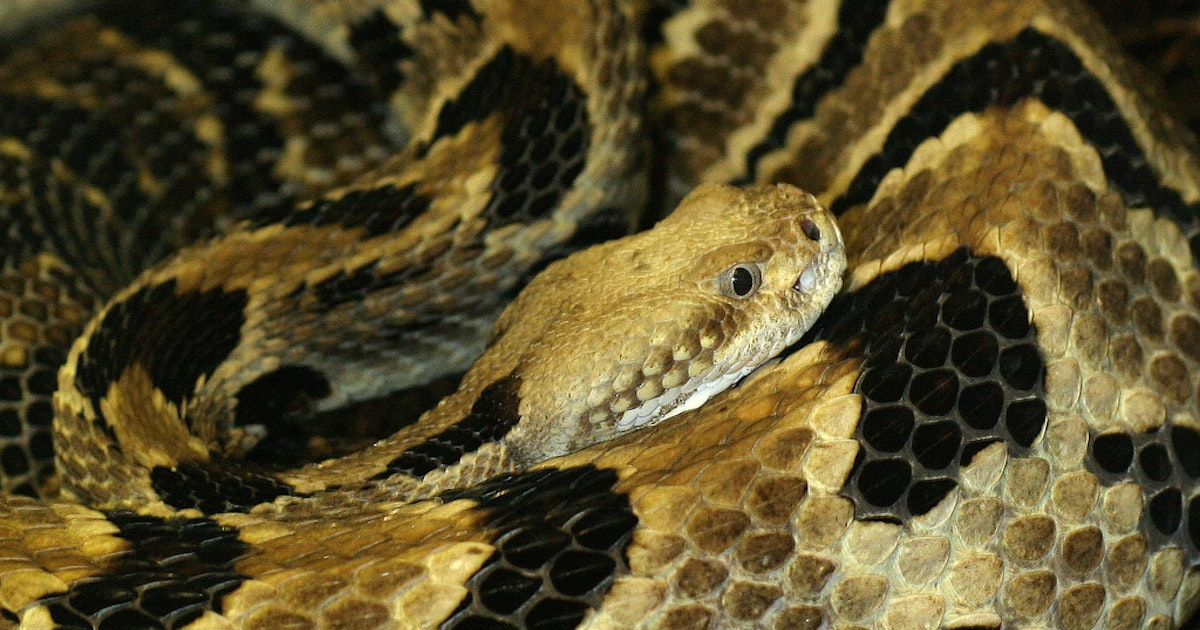 How photography can overturn traditional killing of rattlesnakes