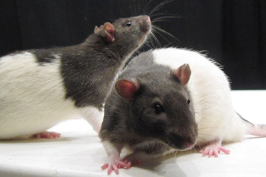 A pair of black and white rats