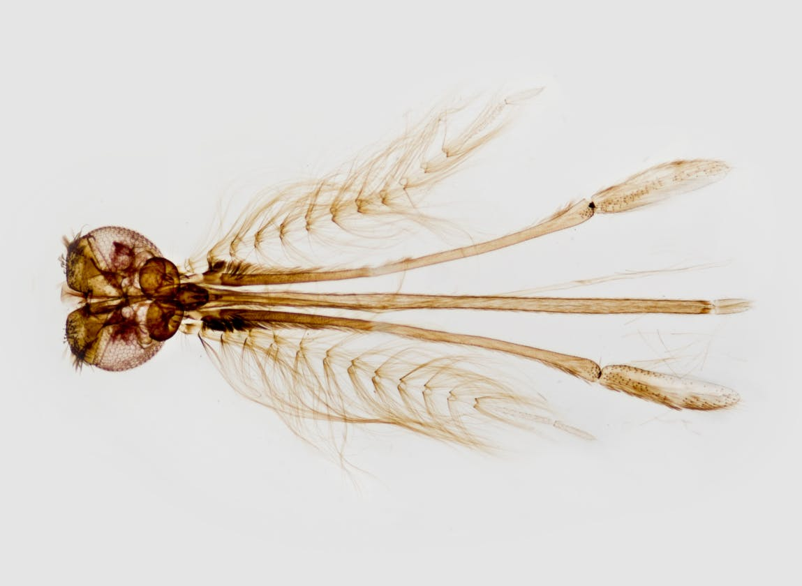 An enlarged view of the head region of a female Anopheles gambiae mosquito