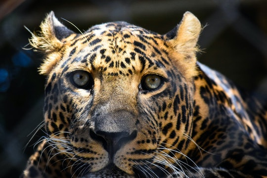 A leopard looking directly at the camera