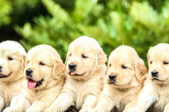 five identical looking golden retriever puppies standing in a line