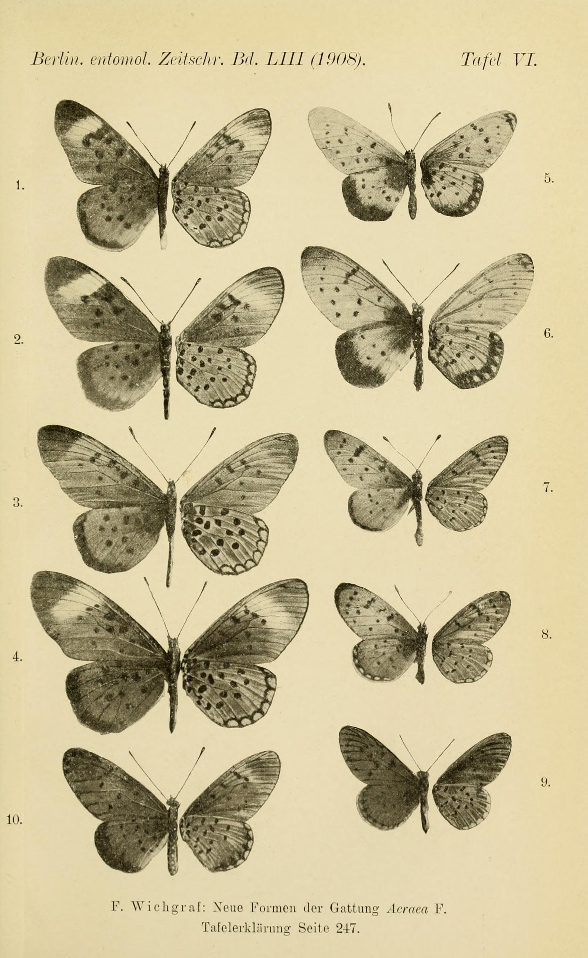 Acraea butterflies